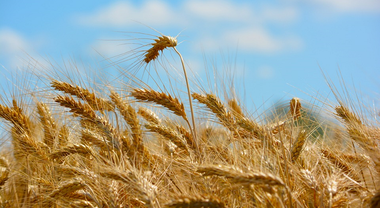 Dieta senza grano per eliminare la pancetta (e non solo)