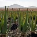 Gli incredibili effetti benefici sulla pelle dell'Aloe Vera Proprietà degli alimenti
