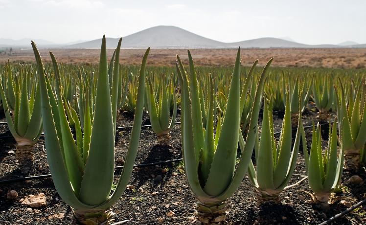 Gli incredibili effetti benefici sulla pelle dell'Aloe Vera