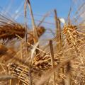 Tisana d'orzo: proprietà benefiche e preparazione Dieta