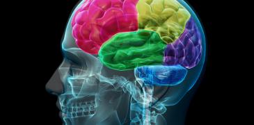 Un nuovo modello per studiare le lesioni cerebrali Medicina