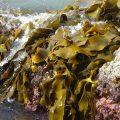 I tre principali benefici delle alghe Proprietà degli alimenti