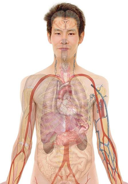 Fegato: dove si trova, le funzioni che svolge e cosa lo danneggia Medicina