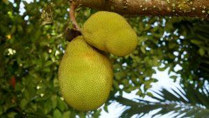 L'efficacia del Jackfruit sul mantenimento di una salute sana