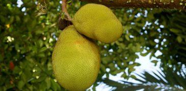 L'efficacia del Jackfruit sul mantenimento di una salute sana Proprietà degli alimenti