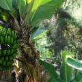 Banana verde e i suoi 6 incredibili benefici per la salute Proprietà degli alimenti