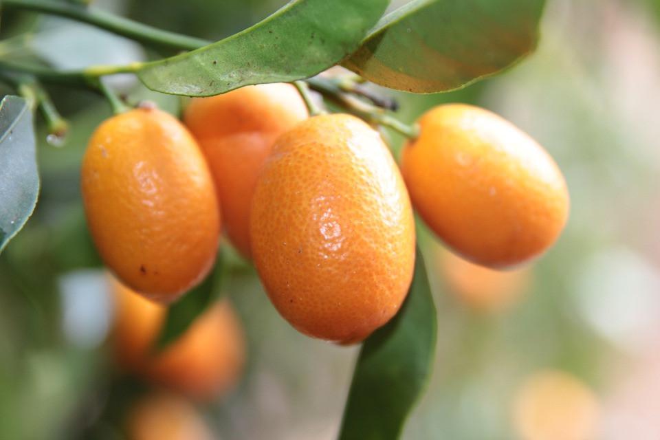 Kumquat e i suoi 4 incredibili benefici per la salute Proprietà degli alimenti