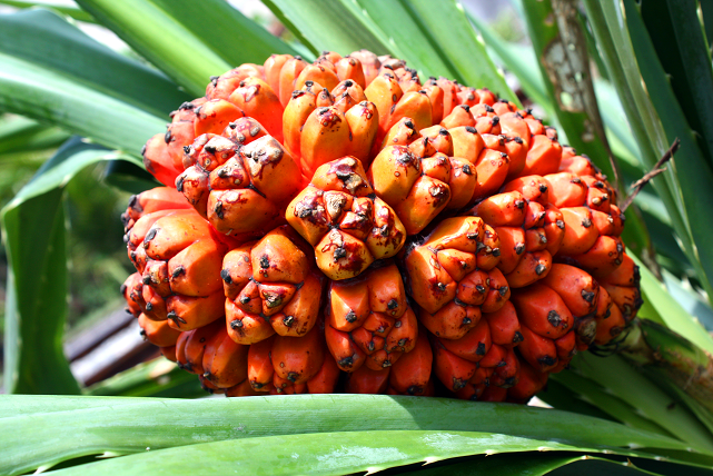 Benefici per la salute dell'Hala Fruit (Pandanus tectorius)
