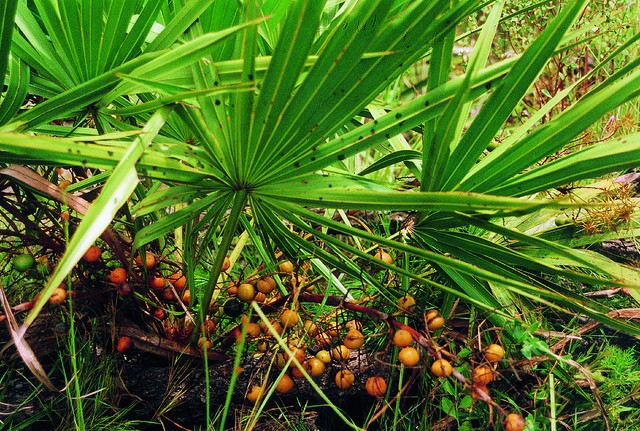 Benefici per la salute del Saw Palmetto Proprietà degli alimenti