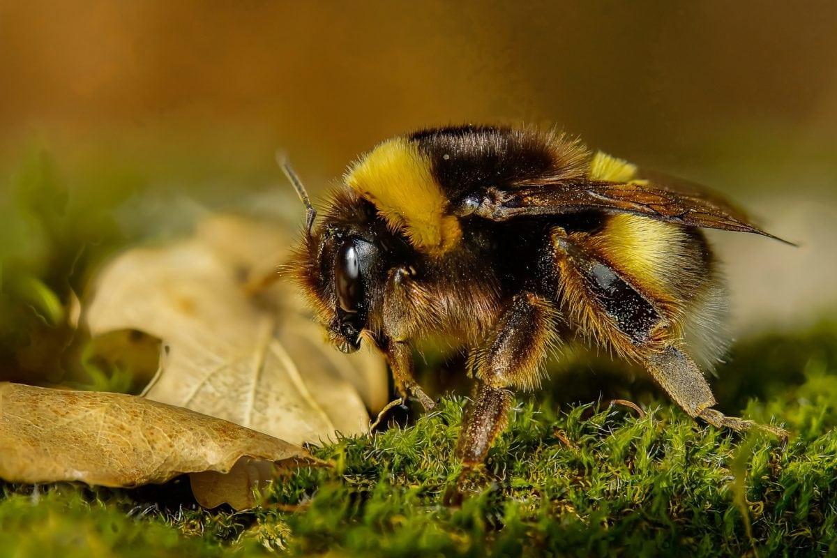 Come trattare una puntura d'ape e cosa fare in caso di reazione allergica Benessere